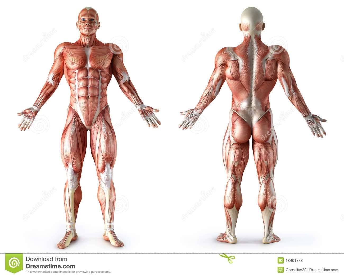 anatomy-muscles-18401738